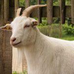 Ser kozi dla osób nietolerujących mleko krowie